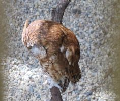 Sleepy Screech Owl 2 by Windthin