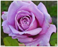 Lavender Rose 001 (27.10.14) by LacedShadowDiamond