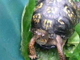 Found this little turtle in our yard. 3 by tigernose123