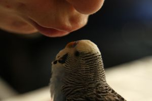 seduced budgie by scorpionteam