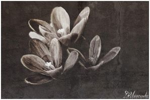 Old Crocus by Salvas