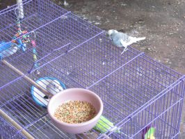 Wild budgie likes the first cage by Sorath-Rising