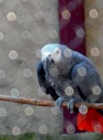 African Grey Parrot by TheWizardofOzzy