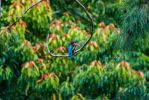 White-throated kingfisher by BlueLunarRose