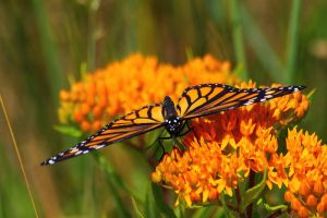 Monarch on Butterfly Weed 1 by S-H-Photography