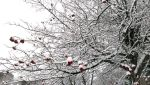 Cherry in Snow by shafin