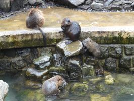 Coypu by Horselover60-Stock