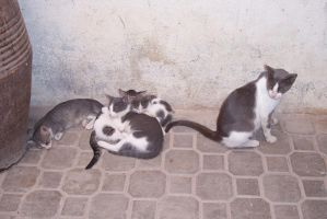 Cats in Marrakech by 100-days