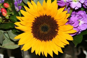 sunflower by priesteres-stock