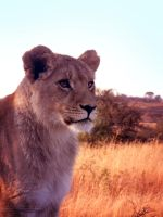 African Lion by piggtraad