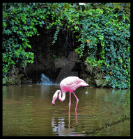 Flamingo by MorganaMagorian