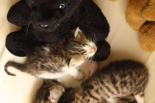 Kitten on a soft toy by Nolw