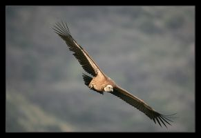 Griffon Vulture III by invisiblewl