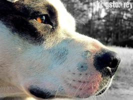 through the eyes of a pit bull by kingstonrey