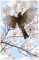 Brown-eared Bulbul in Spring by simzcom