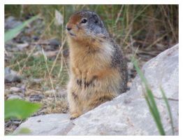 Ground Squirrel 2. by Bleezer