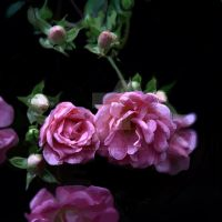 Rambling Rose by Kaysusanelliott