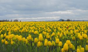 Field of Gold - Tulips II by Photos-By-Michelle