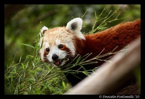 Red Panda: Cute Tongue III by TVD-Photography
