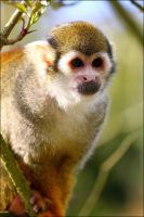 Squirrel monkey. by Evey-Eyes