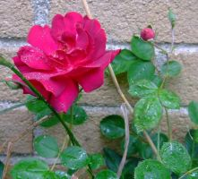 ROSE AND BABY ROSE ON BRICK by AudraMBlackburnsArt