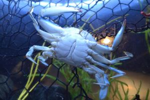 A Bottom Of A Blue Crab by Jaws1996