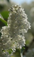 white lilac 2 by marob0501