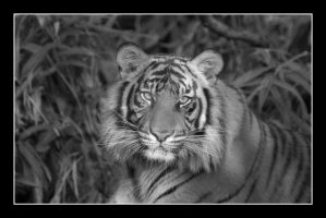 Tiger (Front Head Shot - Black and White) by SKiNBuS
