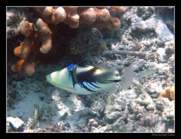 Picasso Triggerfish by Keith-Killer
