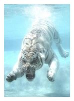 White Tiger under water by sergey1984