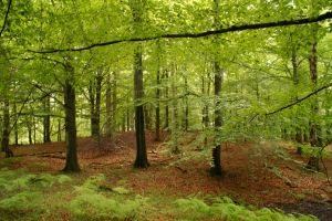 A beautiful beech forest by Findsen
