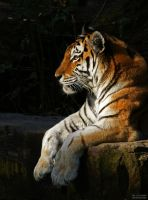 Panthera tigris altaica by C0LL1