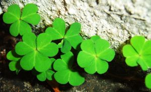 Clovers by anamartz