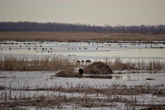 Bald Eagle Waiting on a Muskrat by mrcbax