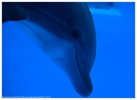 Bottlenose Dolphin 003 by ShineOverShadow