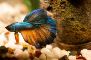 Genie the Turquoise Betta by EmeraldRosepetal