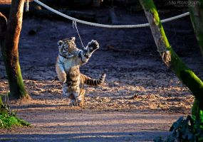 Playing tiger cub by Mias-Photography
