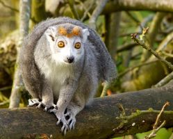 Crowned Lemur  by Weekendphotographer