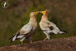 Egyptian-vulture by k-v-bhat