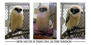 How Much Is That Owl? Triptych by meihua