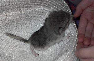 baby chinchilla by BCollie51