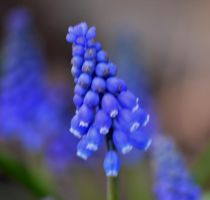like little blue bells by TomKilbane