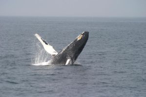 Humpback whale calf breach by Shadow-and-Flame-86