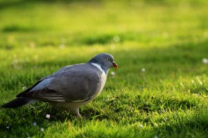 same pigeon and same lens by pagan-live-style