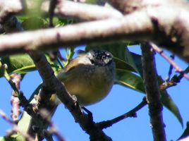 Yellow-rumped Thornbill by Ranger-Roger-Reserve