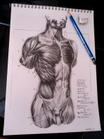 Muscles of the torso by tubyx