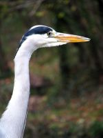 Heron on the Kennet and Avon by akaBadMedia