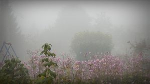 Pink windflowers in a misty garden by April-Mo