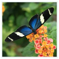 Cobalt blue butterfly by Haati-and-Mousa