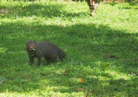 Mongoose in our Garden in SL by jennystokes